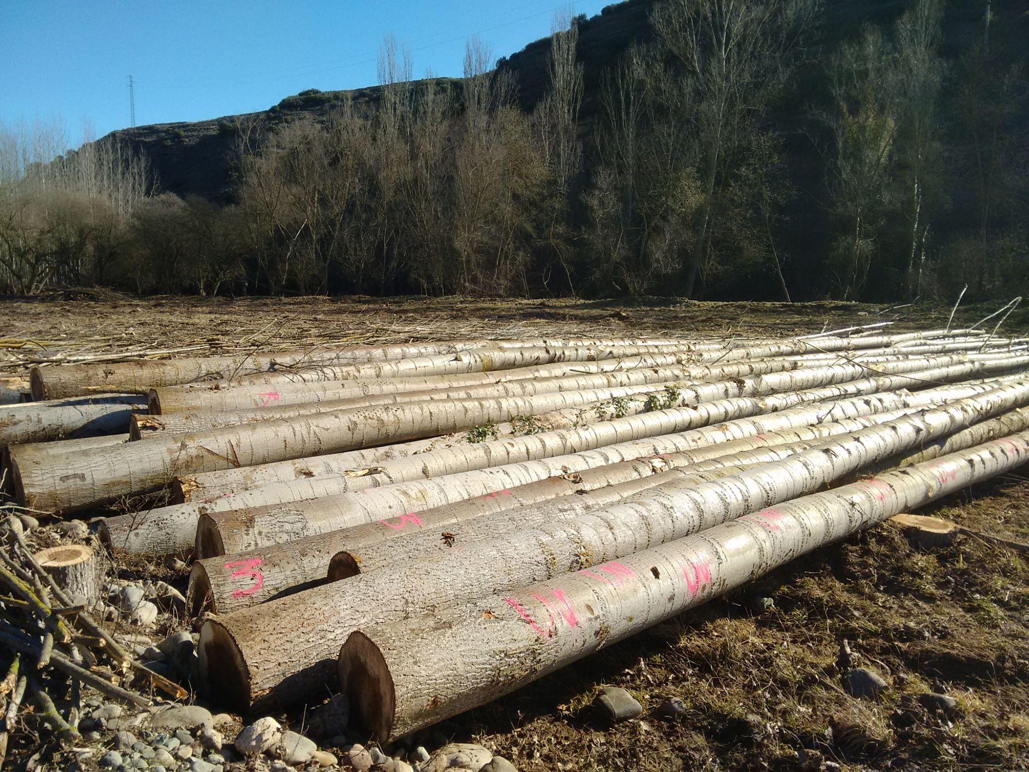El sector del chopo cifra en 23 millones las pérdidas si la CHD limita las plantaciones